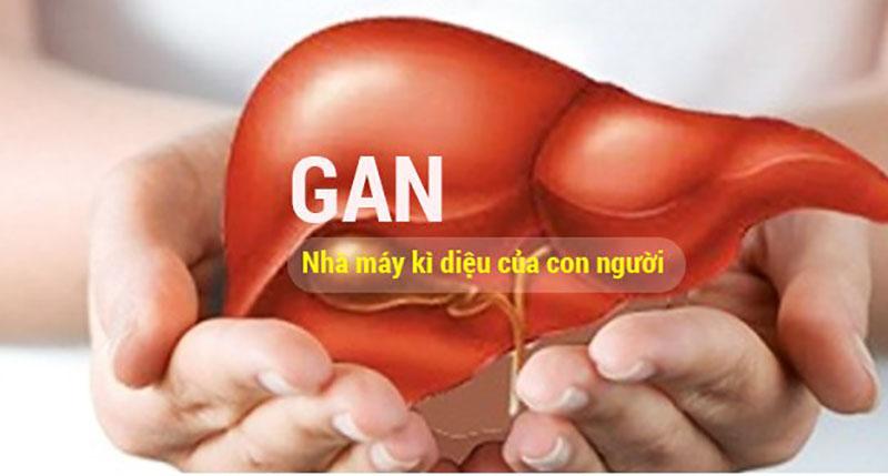 Cà Gai Leo hỗ trợ điều trị bệnh gan, viêm gan, sơ gan, hiệu quả