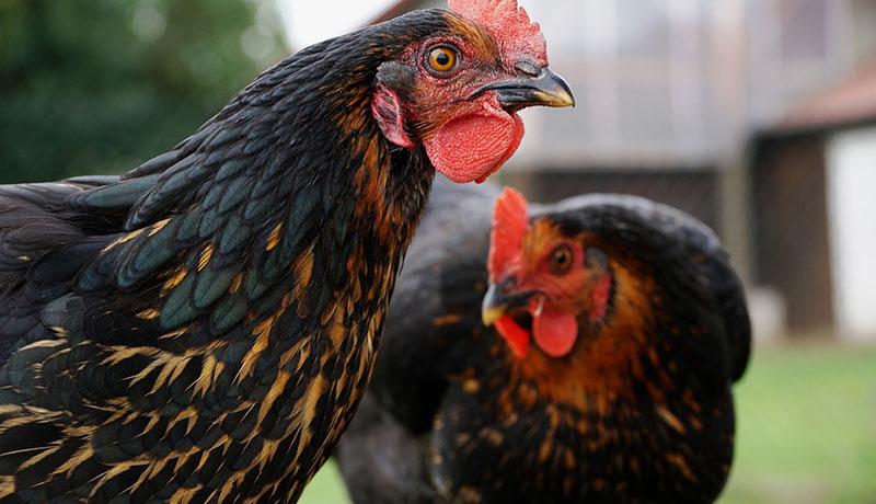 Gà mái tơ và gà mái đẻ trứng!