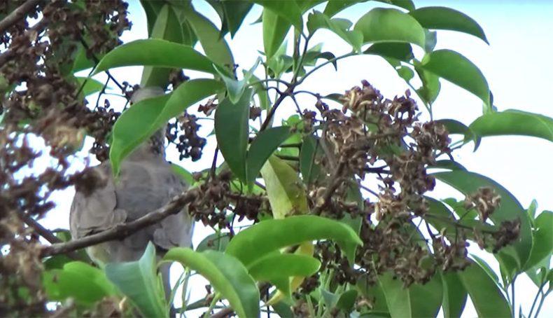 Chim đang ăn quả bí bái