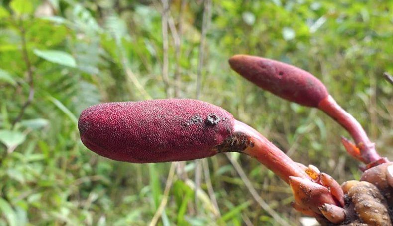 Cận cảnh cây nấm ngọc cẩu trong rừng!