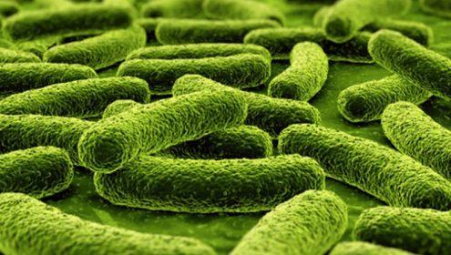 Lactobacillus plantarum chứa trong lợi khuẩn. (c) Iron Magazine