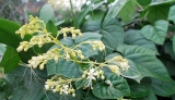 Top 7 cây thảo dược dùng chữa viêm gan B trong đông y!